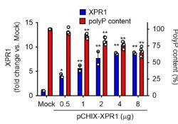"Blood:XPR1调控血小板多聚<font color=""red"">磷酸</font><font color=""red"">盐</font>的蓄积抑制血栓形成"