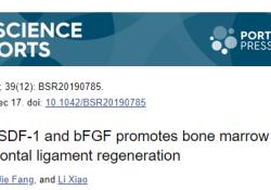 "Biosci Rep:<font color=""red"">SDF</font><font color=""red"">-1</font>和bFGF联合促进骨髓干细胞介导的牙周韧带再生"