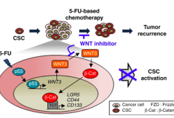 Nat Commun:5-FU激活WNT/β-catenin通路,促进结直肠癌的干性