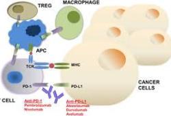 临床前研究显示,治疗性PD-1癌症疫苗安全有效