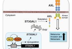 Nat Commun:SOX2/GLI1-ST3GAL1-AXL通路促进黑色素瘤的转移