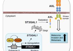 """Nat Commun:SOX2/GLI1-ST3GAL1-AXL通路促进黑色素瘤<font color=""""red"""">的</font><font color=""""red"""">转移</font>"""