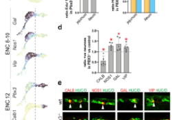 "Nat Neurosci:基于单细胞RNA测序描绘肠<font color=""red"">神经</font><font color=""red"">元</font>种类的多样化"