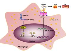 "Cell Death Dis:LncRNA kcnq1ot1通过介导miR-452-3p/HDAC3/ABCA1通路促进脂质的积累并促进<font color=""red"">动脉</font><font color=""red"">粥样硬化</font>"