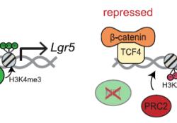 "Nat Commun:表观遗传调控因子Mll1介导Wnt通路驱动的肠道癌的发生和肿瘤<font color=""red"">干性</font>的维持"