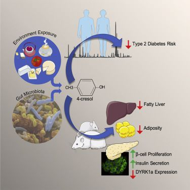 Cell:肠道菌群代谢物恢复胰岛功能