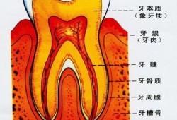 J Dent Res: 牙髓组织中M2表型巨噬细胞与Schwann细胞共定位