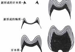 "J Dent Res:Mdm2通过泛素化Dlx3和<font color=""red"">p</font><font color=""red"">53</font>促进牙乳头细胞成牙本质细胞样分化"