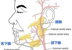 J Dent Res:tricellulin调节唾液腺中大分子的转运