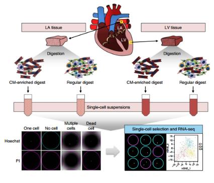 Nature:全球首次系统绘制成年人心脏单细胞图谱!