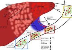 "非酒精性脂肪性肝炎(<font color=""red"">NASH</font>)迎来新进展:lanifibranor达到期中研究的主要终点"