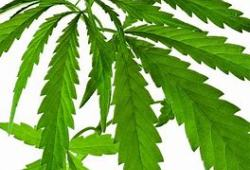 JAMA Network Open:大麻能够减轻镰状细胞病疼痛