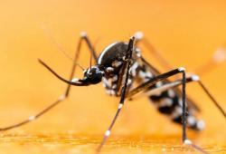 最新證實蚊子不能傳播新冠,但蚊子有時比子彈更可怕