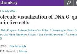 Nat Chem:七年后又获进展!英国科学家首次在人体活细胞中观察到四螺旋DNA形成