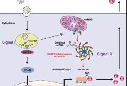 Cell Rep:国内学者在发热伴血小板减少综合征病毒诱发炎症反应研究方面取得新进展