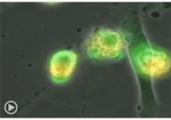 "bioRxiv:英美最新研究警示:人类<font color=""red"">胚胎</font>中的CRISPR基因编辑会造成染色体混乱"