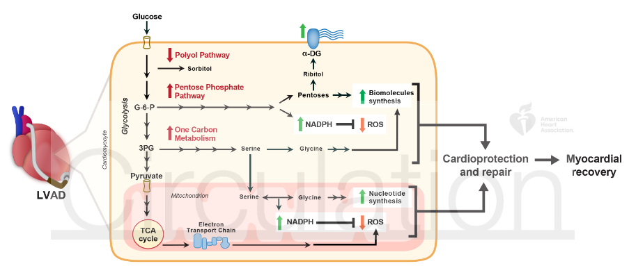Circulation:糖酵解解偶联在衰竭心脏恢复过程中的心脏保护作用
