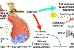 Circulation:骨髓内皮细胞对糖尿病骨髓造血的调节作用