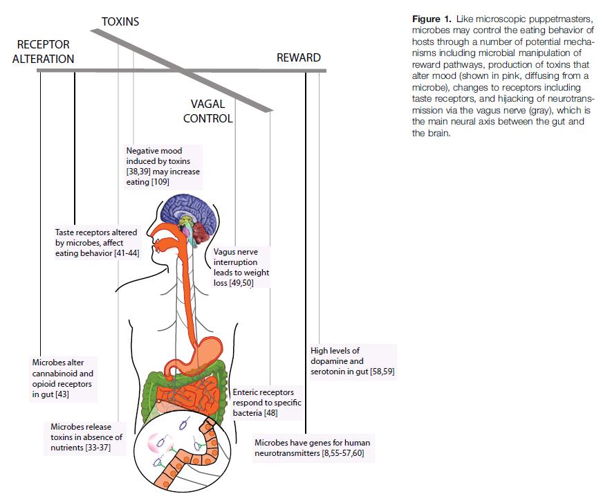 肠道菌群或影响饮食偏好和情绪