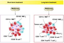 Clin Cancer Res:小剂量二甲双胍对食管癌肿瘤免疫微环境的影响