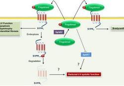 鞘氨醇激酶2抑制剂Opaganib治疗COVID-19:II/III期研究已在墨西哥获得批准
