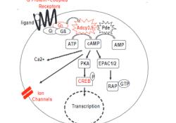 "Blood:前列腺素E2可恢复白血病细胞对<font color=""red"">糖皮质</font><font color=""red"">激素</font>的敏感性"