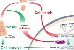 新型PARP抑制劑Stenoparib:在臨床前研究中顯示出抗新冠病毒活性!