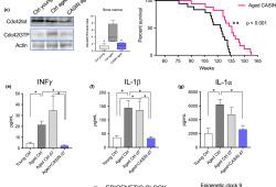 AGING CELL:只需给药四天,Cdc42特异性抑制剂可延长寿命