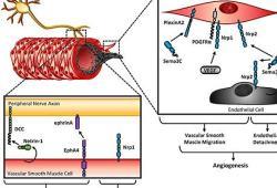 亚硝酸钠制剂JAN101治疗COVID-19血管并发症