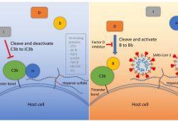 Blood:抑制D因子可阻断新冠病毒棘突蛋白引起的补体激活!