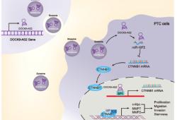 Cell Death Dis:lncRNA DOCK9-AS2促进甲状腺乳头状癌的发生发展