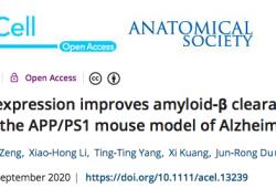 AGING CELL:川大团队发现,长寿基因Klotho可改善阿尔茨海默病中Aβ的清除和认知