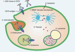 AJOG:CD70抗体-药物偶联剂有望成为子宫平滑肌肉瘤的靶向药