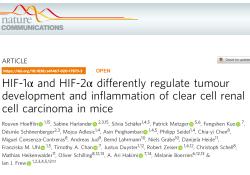 """Nat Commun:<font color=""""red"""">HIF</font>-<font color=""""red"""">1</font>α和<font color=""""red"""">HIF</font>-2α在肾透明细胞癌中发挥相反的调节作用"""
