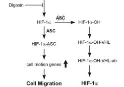 "Cell Death Dis:ASC调节<font color=""red"">HIF</font>-1α的稳定性诱导口腔鳞状细胞癌的转移"