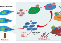 """Cell Death Differ:EZH2 R342<font color=""""red"""">甲基</font><font color=""""red"""">化</font>修饰促进乳腺癌的<font color=""""red"""">转移</font>"""