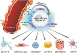 "<font color=""red"">STEM</font> CELLS Translational Medicine:间充质干细胞治疗重症COVID-19已取得突破性进展"