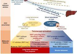 """J Hepatol:端粒酶,<font color=""""red"""">肝癌</font>的新潜在治疗靶点!"""
