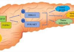 "Cell Biol Toxicol:S100A16<font color=""red"">通</font>过FGF19介导的AKT和ERK1/2<font color=""red"">通</font>路促进胰腺癌转移进展"