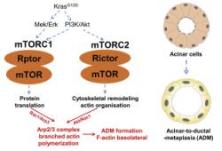 Gastroenterology:mTORC1/2聚集在Arp2/3复合体上促进腺泡→导管化生→早期胰腺癌转化进展