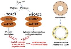 "Gastroenterology:mTORC1/2聚集在Arp2/3复合体上促进腺泡→<font color=""red"">导管</font>化生→早期<font color=""red"">胰腺</font><font color=""red"">癌</font>转化进展"