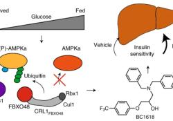 Nat Chem Biol:Fbxo48抑制剂可通过阻止pAMPKα降解减轻胰岛素抵抗