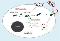 病毒RNA聚合酶抑制剂AT-527治疗COVID-19,Chugai制药公司将负责日本的开发和销售