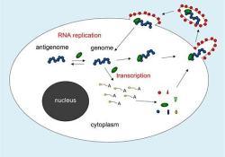 """病毒RNA聚合酶抑制剂AT-527治疗COVID-19,Chugai<font color=""""red"""">制药</font><font color=""""red"""">公司</font>将负责日本的开发和销售"""