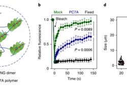 Nature BME:多价STING激动剂对天然免疫通路的长效激活