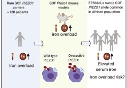 Cell:什么情况下我们体内的铁会升高?Cell指出这种基因影响铁水平