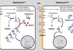 "Cancer Discovery:邹伟平团队揭示视神经蛋白缺失介导结直肠癌免疫<font color=""red"">逃逸</font>的机制"