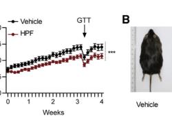 """Cell Metabolism:中药成分可促进脂肪产<font color=""""red"""">热</font>,或可用于治疗肥胖"""