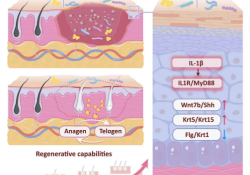 "揭示细菌可促进皮肤伤口愈合和<font color=""red"">毛囊</font>新生"