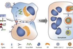 Cell Death & Differentiation:孙强/黄红艳/刘良团队合作揭示新冠患者淋巴细胞减少症发生的新机制